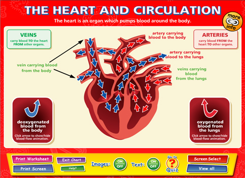 The Heart And Circulation - Content - ClassConnect